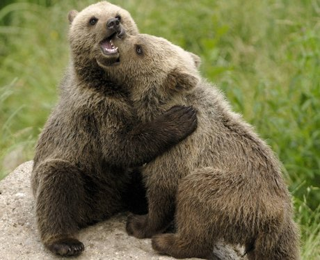 Two young brown bears play fighting