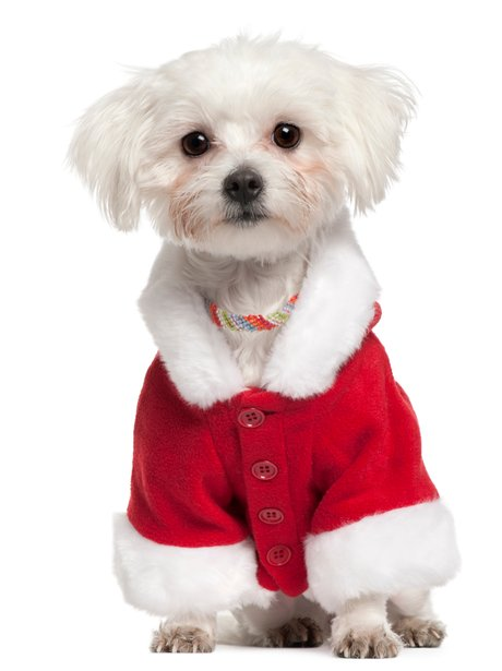 Maltese puppy in santa outfit