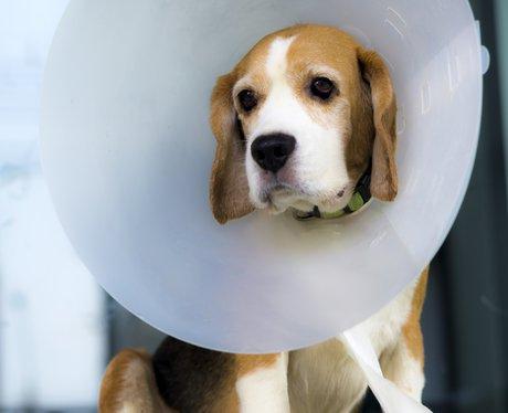 Beagle With A Neck Cone