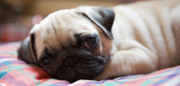 Unlicensed Dog Breeding Driven By Designer Puppy Demand Heart