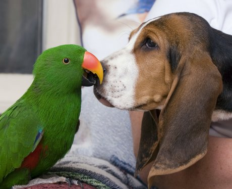 A green parrot and a beagle become friends