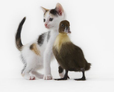 A Kitten And Duckling become friends