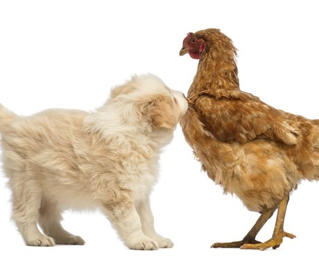 A puppy and chicken playing together