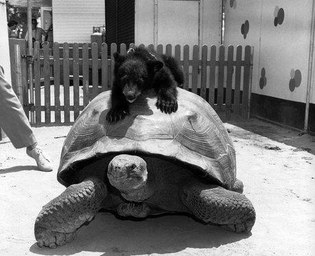 A bear cub rides a tortoise.
