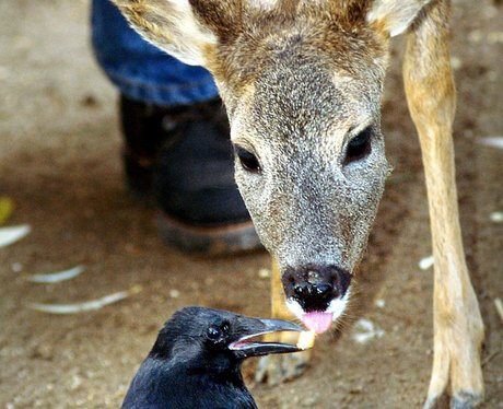A crow offers a young deer a bite of rusk