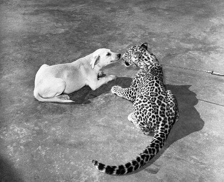 A dog sniffs a leopard.