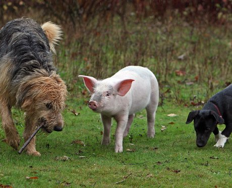 A piglet and two dogs out for a walk