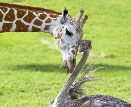 A Giraffe and ostrich are best friends