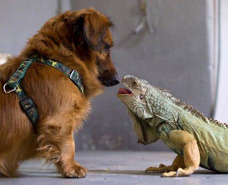 An iguana and Dachshunf become friends