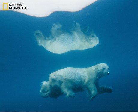 A polar bear reflected in water