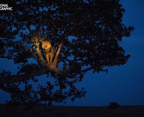 A lion climbs a tree