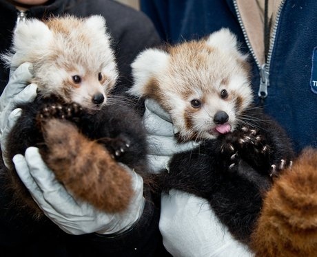 Red Panda Cubs are born in Germany