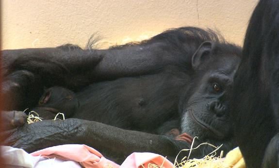 Chimpanzee Cherri with baby