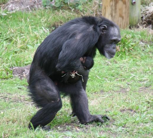 chimpanzee with twins