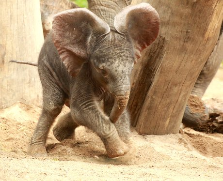 a baby elephant playing