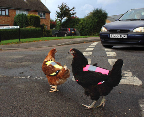 Chickens cross the road in high visability jackets