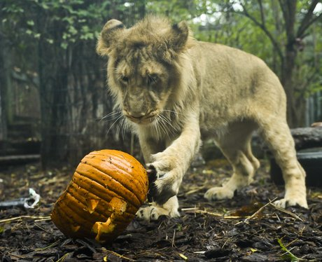lioness with a pumpkin