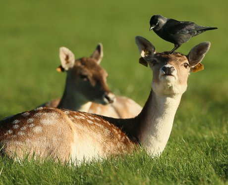 a crow rests on a deer's head