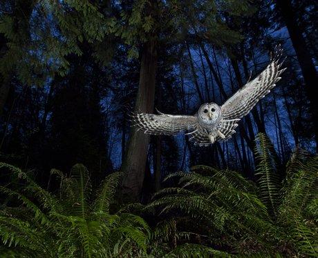 owl in natural habitat
