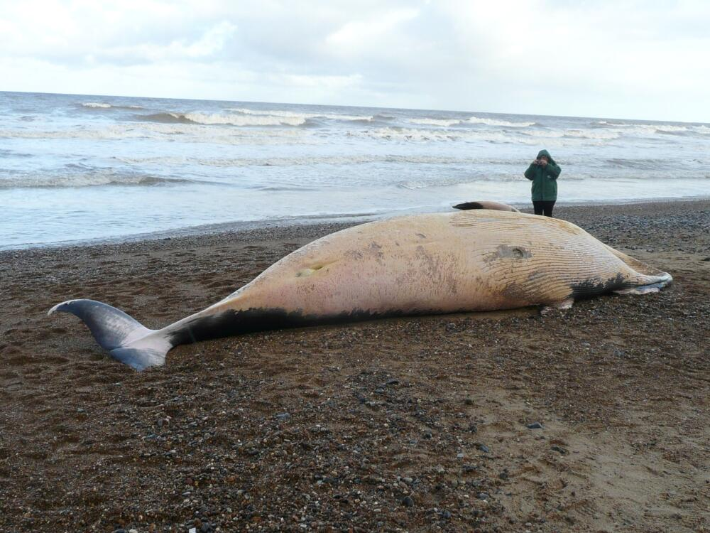Cromer Whale