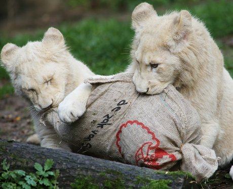 two lionesses eating a sack