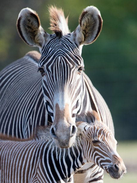 A baby zebra and his mother