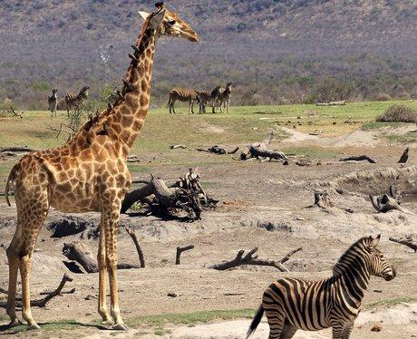 giraffe and zebra in the wild
