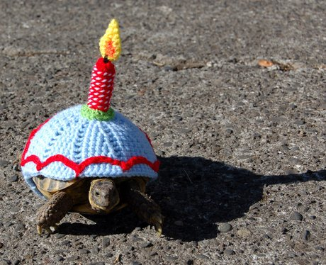 A tortoise in a birthday cake wolley suit