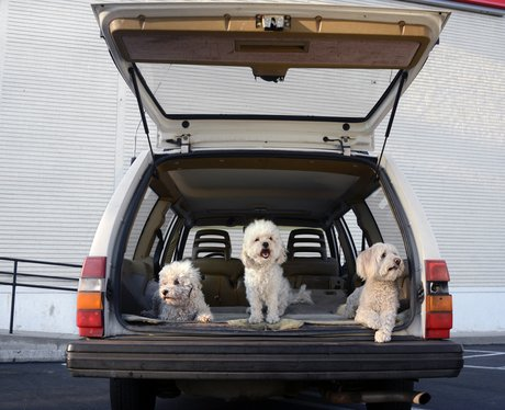 Three dogs in the boot of a car