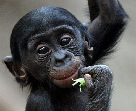 a baby gorilla eating