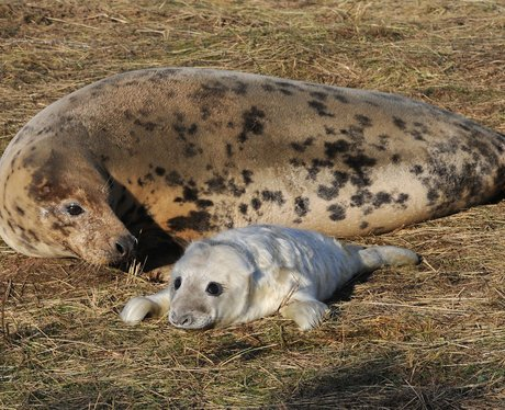 a seal pup with it's mum