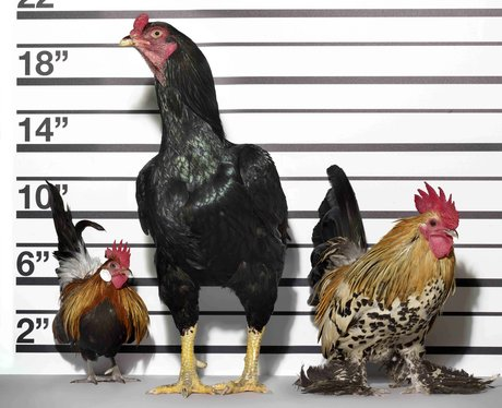 chickens posing as the usual suspects