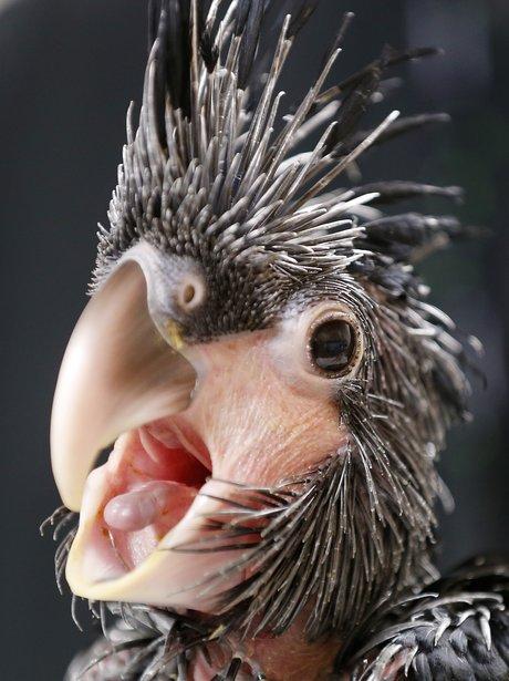 baby goliath cockatoo