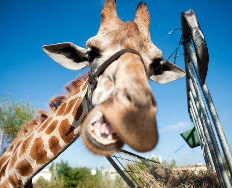 A giraffe pulling a funny face