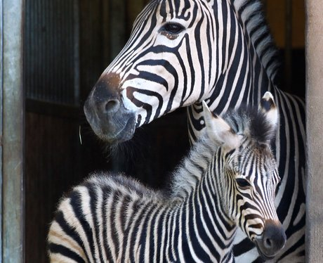A baby zebra with it's parent