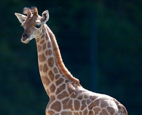 A young giraffe standing in the grass