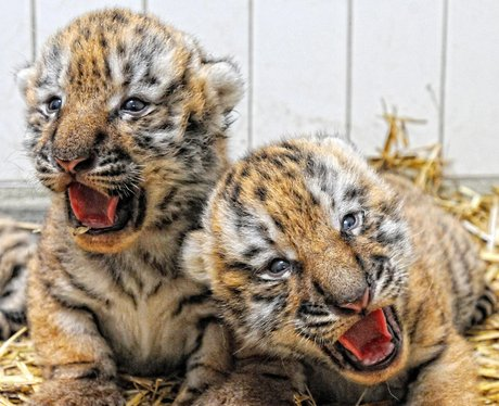 Two tigers cubs yawning