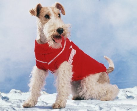 A fox terrier in a red jacket