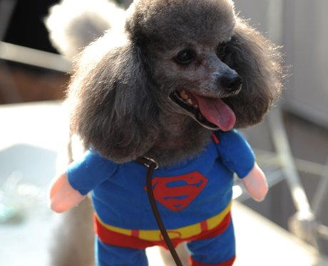 A poodle in a superman outift