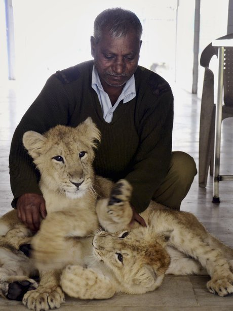 man with lion cubs