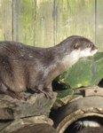 Koji the Otter