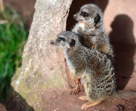 meerkats sunbathing