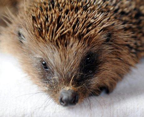 baby hedgehog on a towel