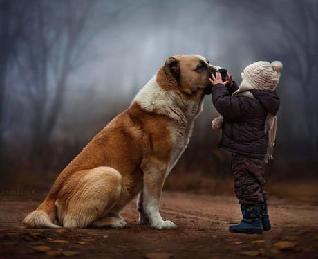 A small boy playing with a Saint Bernard dog