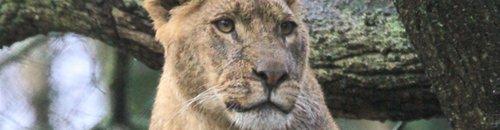 Lions of Longleat