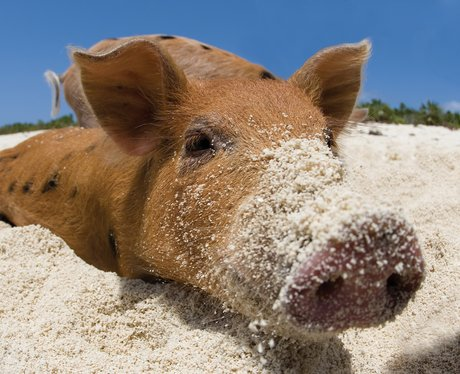 A pig playing in the sane