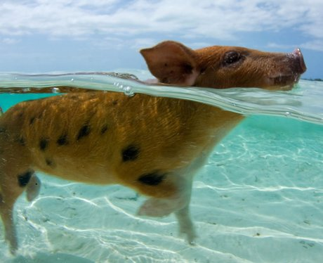 A pig swimming in the sea