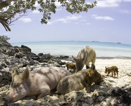 Pigs sitting in the shade under a tree