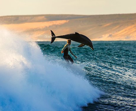 surfer and leaping dolphin