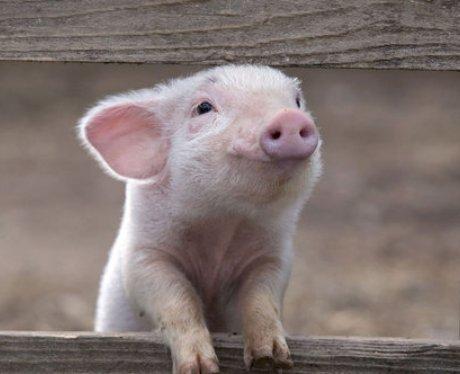A smiling piglet
